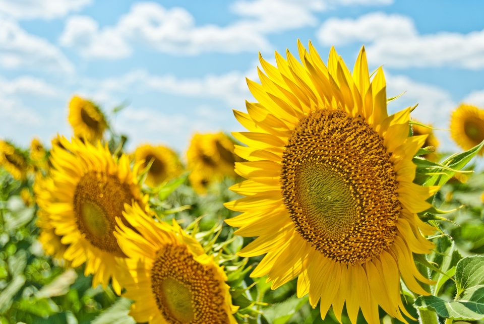 Bright yellow sunflowers up close to show fun summer activities to do in Park City
